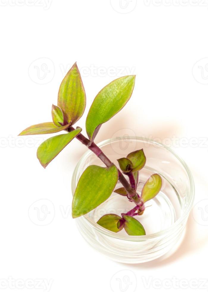 spiderwort de rivière et enracinement dans l'eau, plante herbacée dans le verre photo