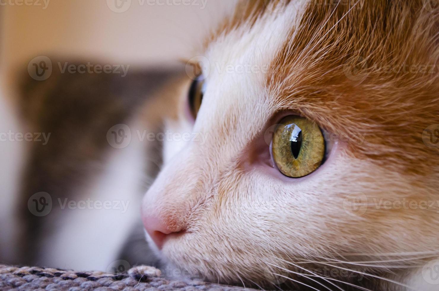 chat tricolore domestique se trouve près de la fenêtre. photo