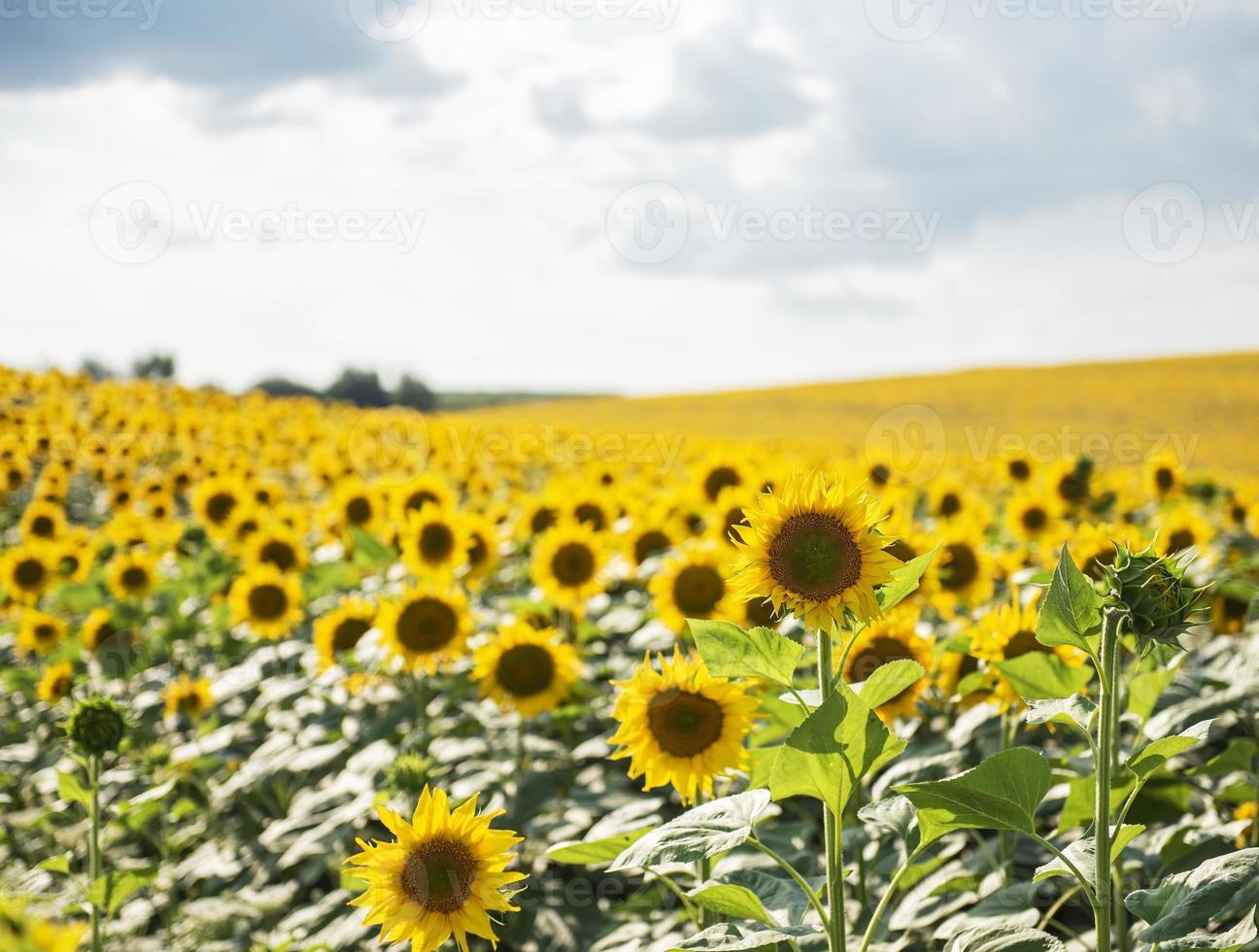 beaux tournesols sur le terrain, fond naturel photo
