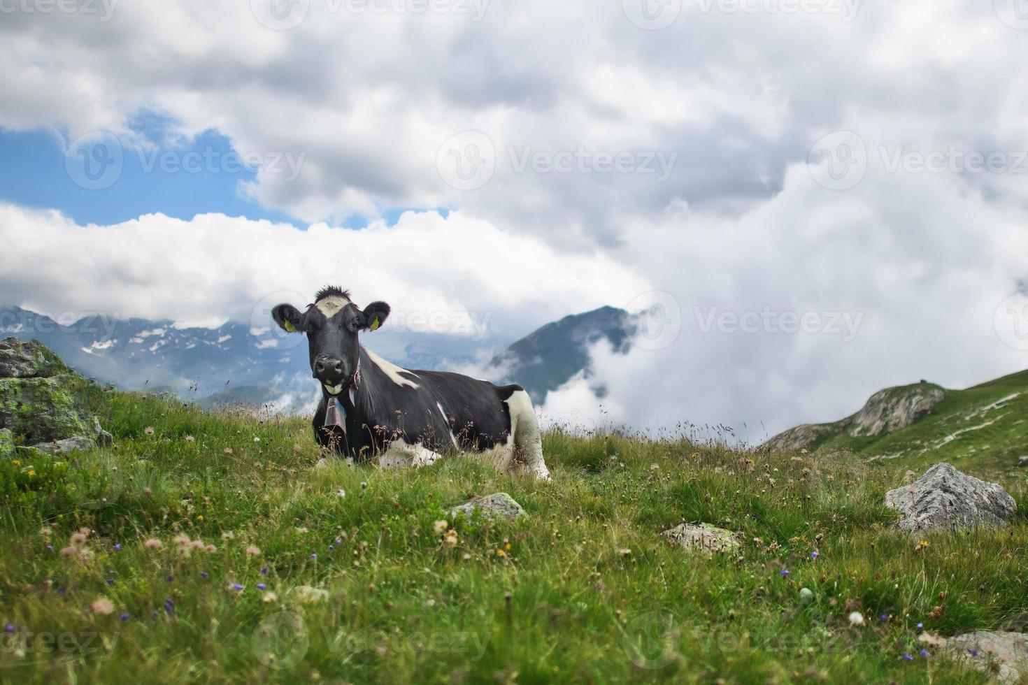 La vache suisse se repose dans la prairie de pâturage photo