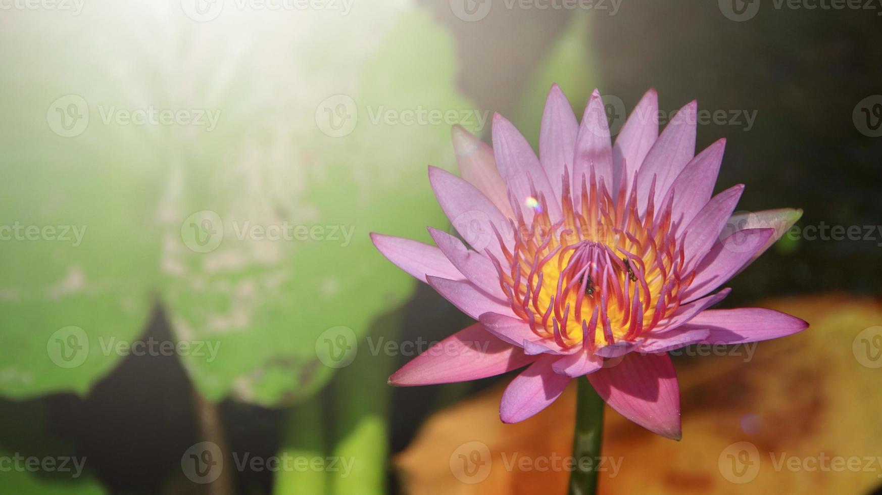Close up lumineux de lotus rose unique dans un étang avec la lumière du soleil photo