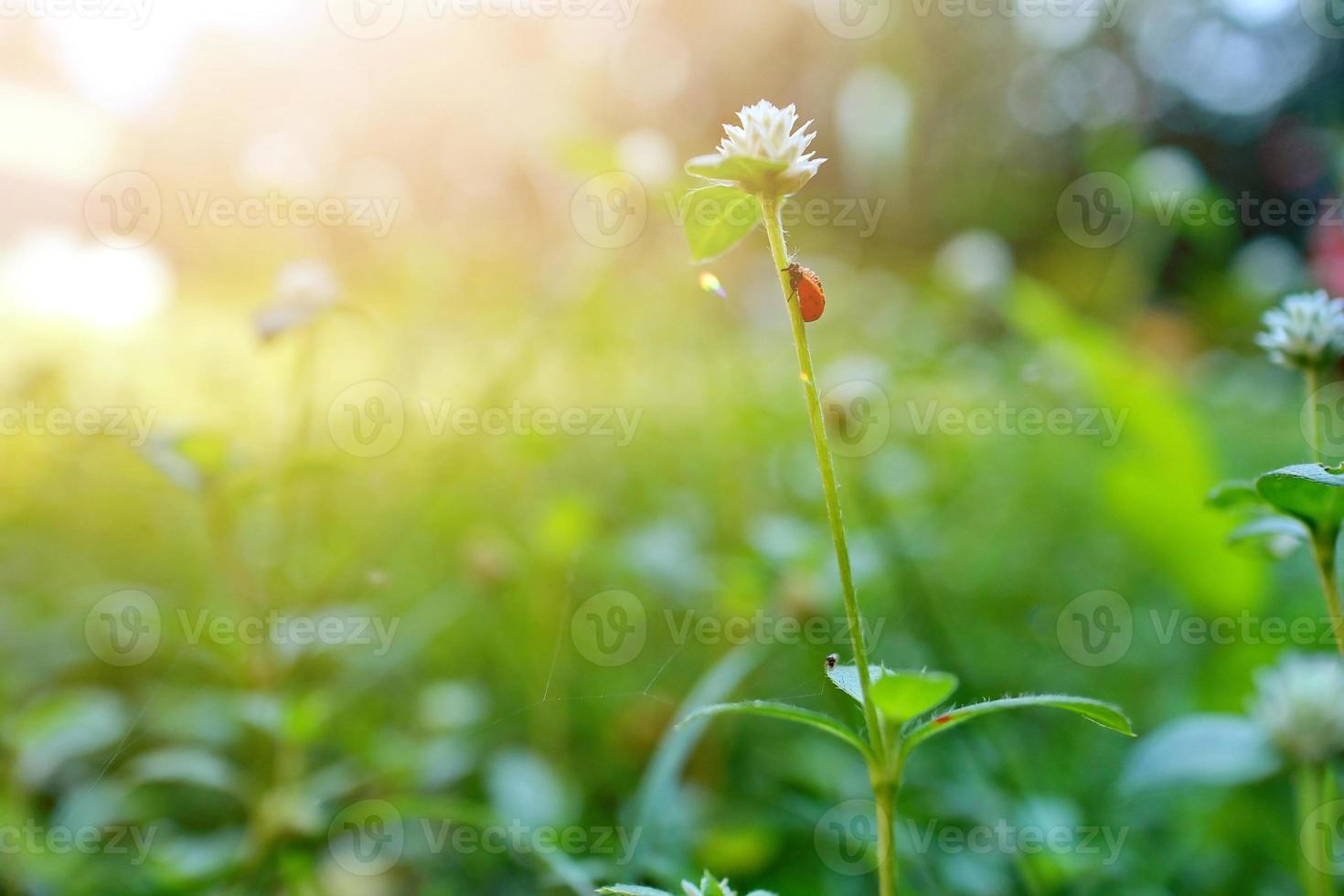 beau fond de nature avec l'herbe fraîche du matin et la coccinelle photo