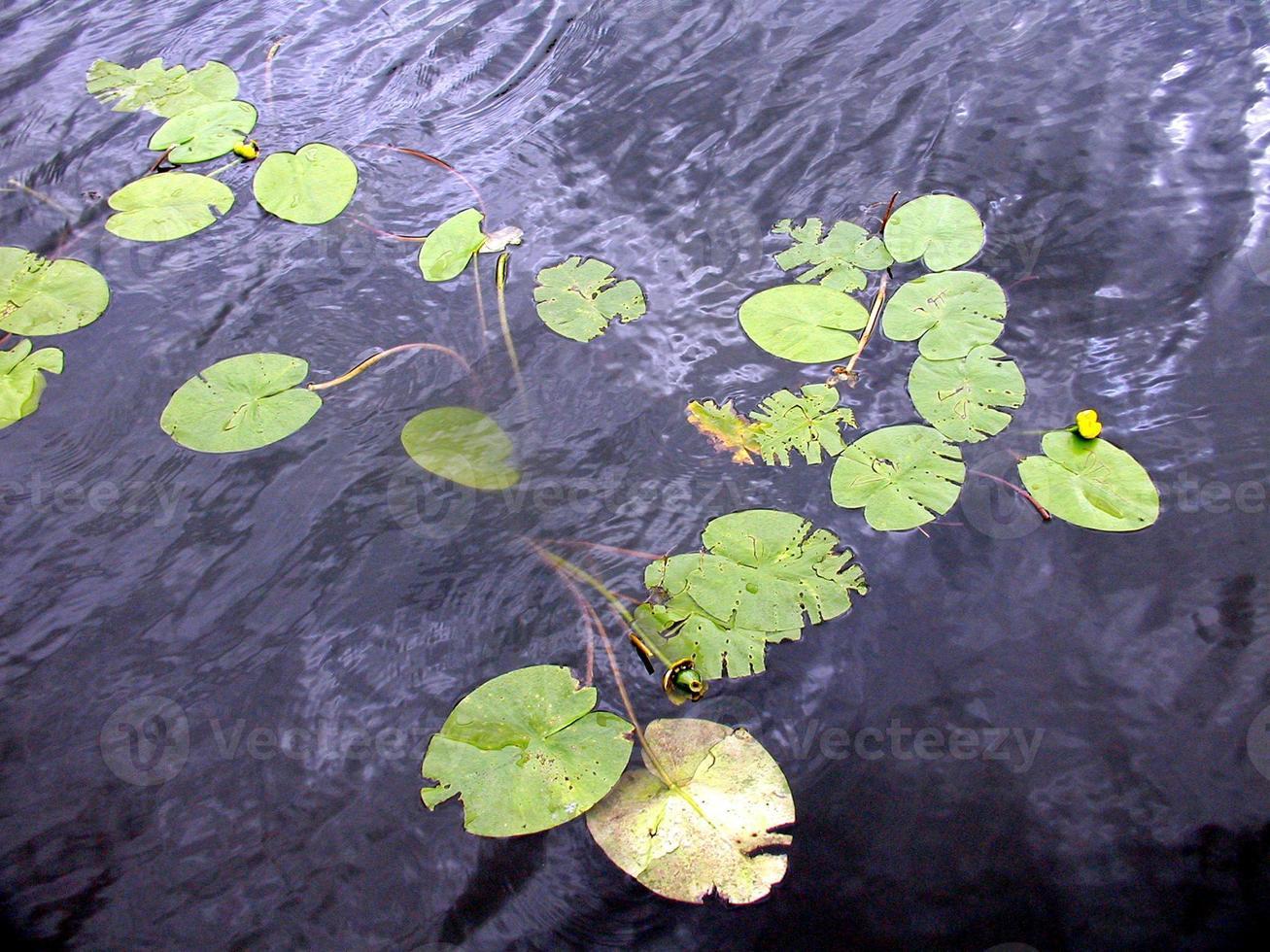 nénuphar nimphée photo