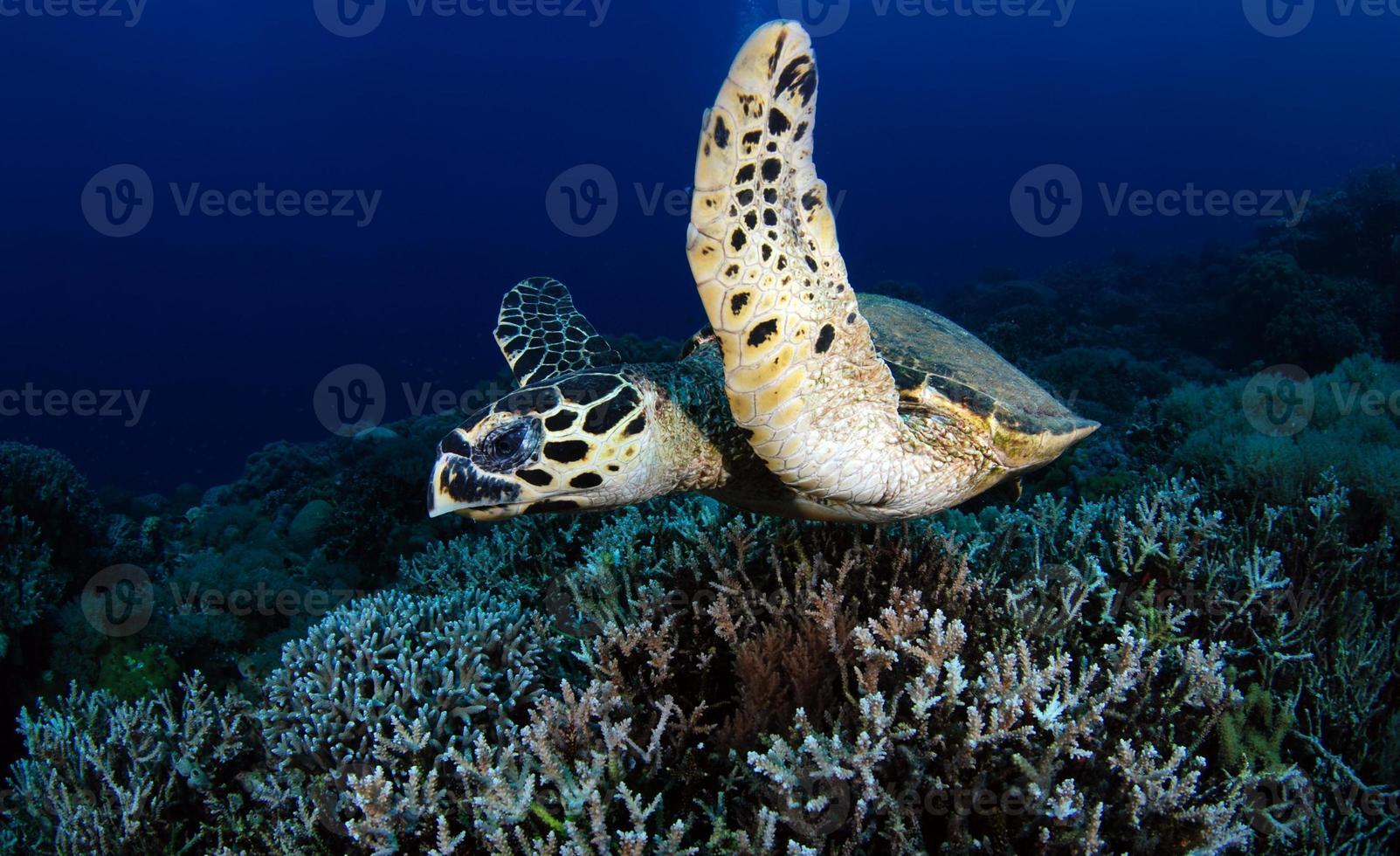 tortue imbriquée dans la mer photo