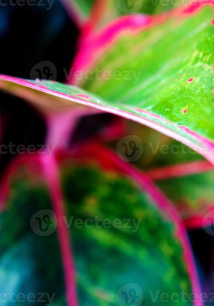 Feuille d'aglaonema 'siam aurora' plante d'intérieur tropicale photo
