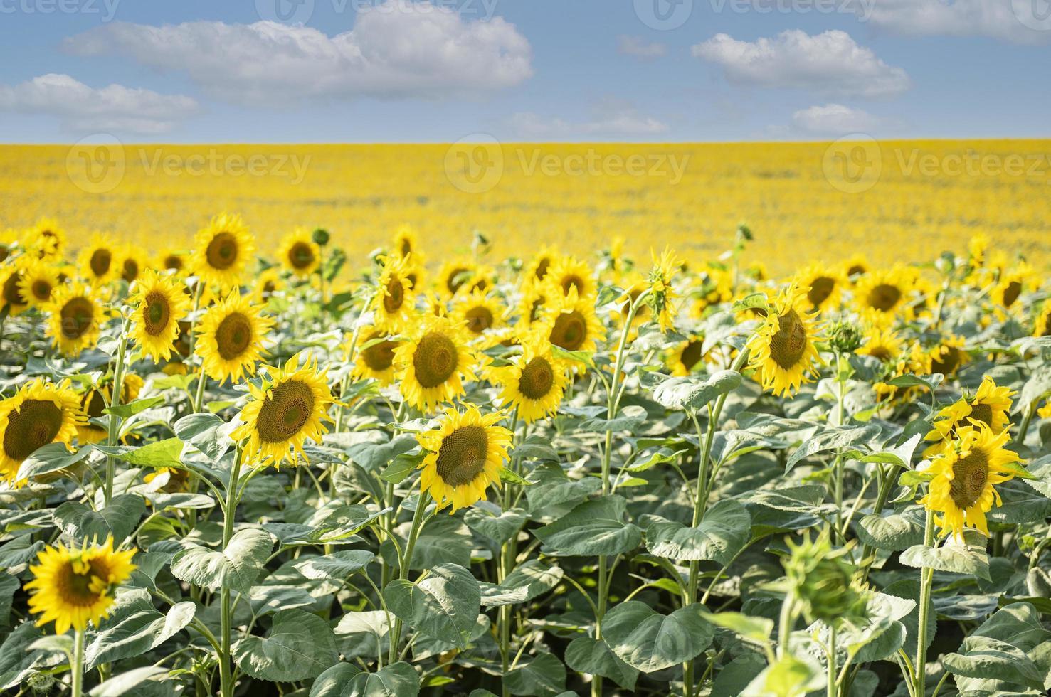 beaux tournesols sur le terrain, fond naturel. photo