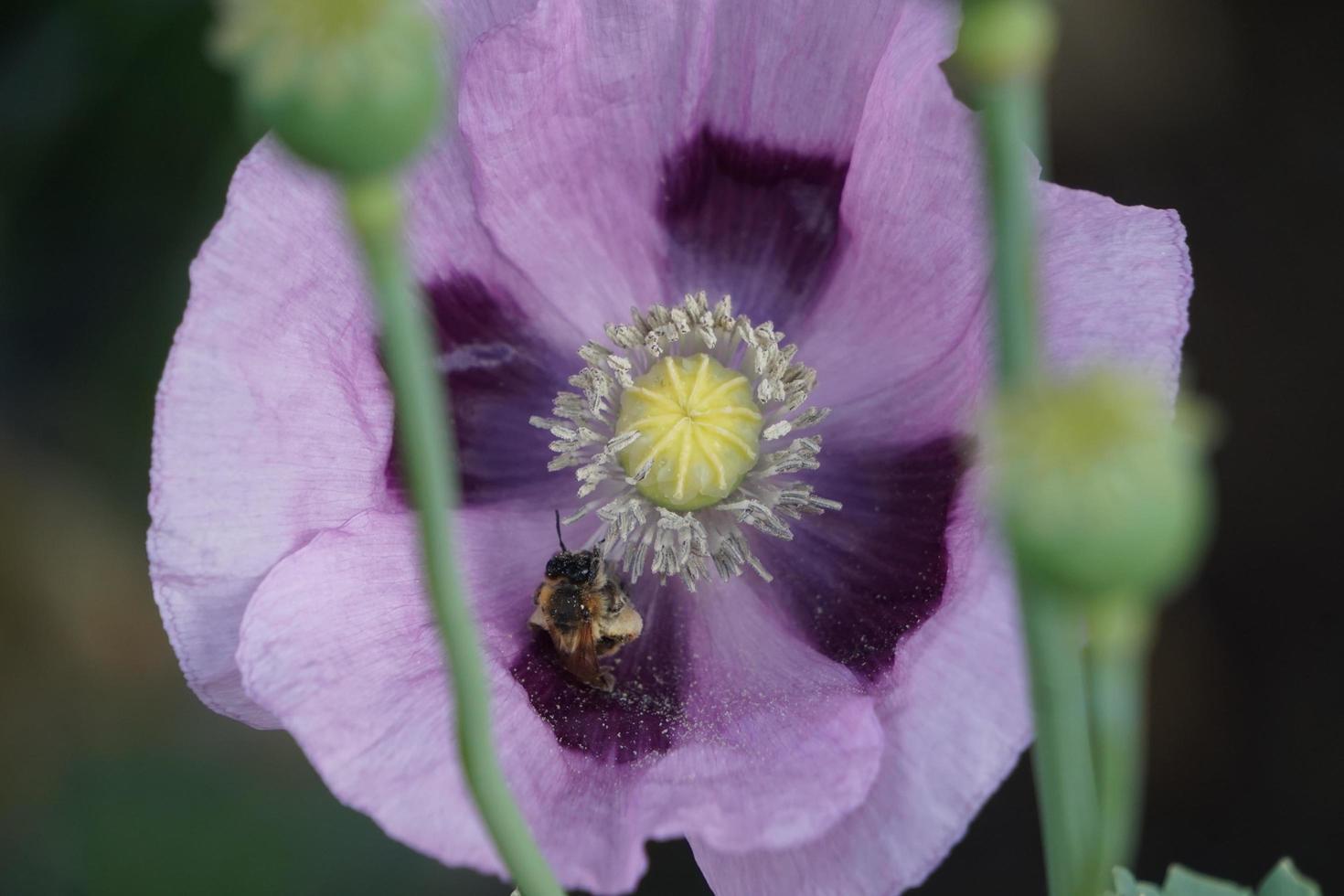 abeille dans un coquelicot violet photo