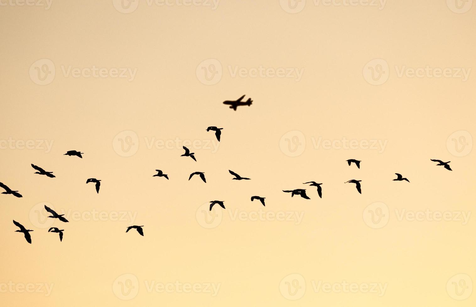 troupeau volant silhouetté d'oiseaux de mer avec avion en arrière-plan. photo