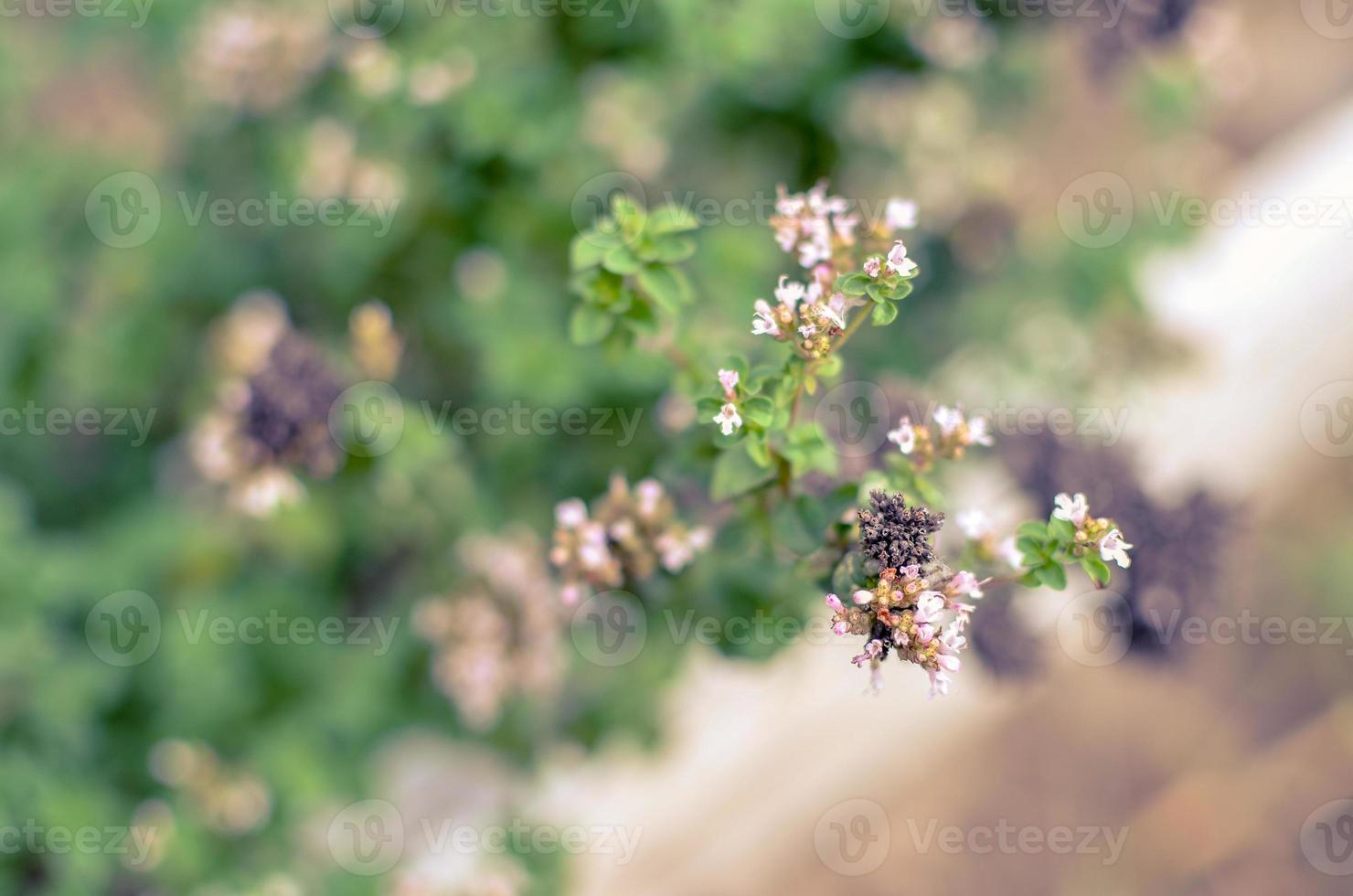 thymus serpyllum fleurit dans le jardin, gros plan photo