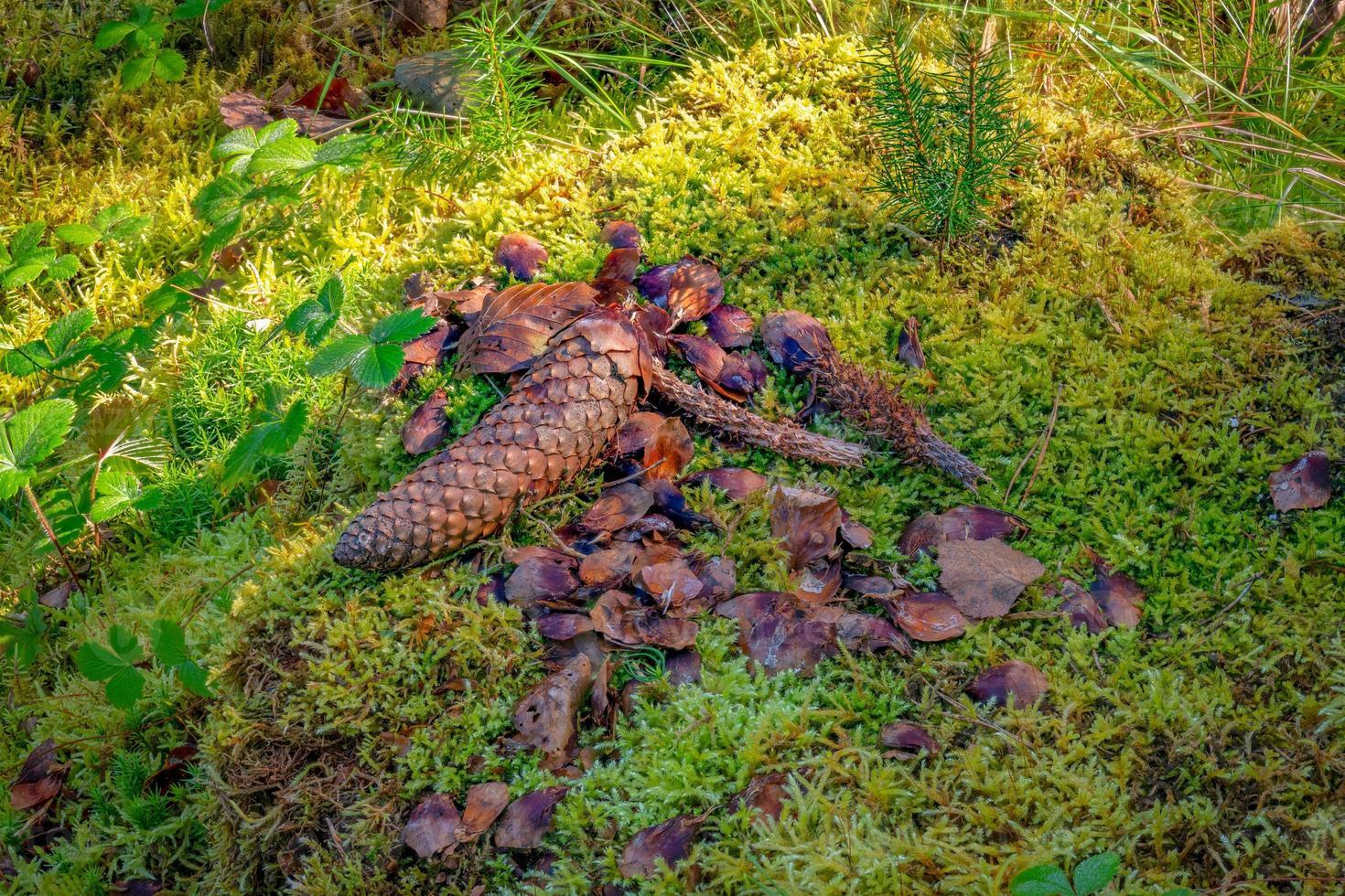 lieu d'alimentation d'un écureuil avec des cônes d'épinette entiers et rongés photo