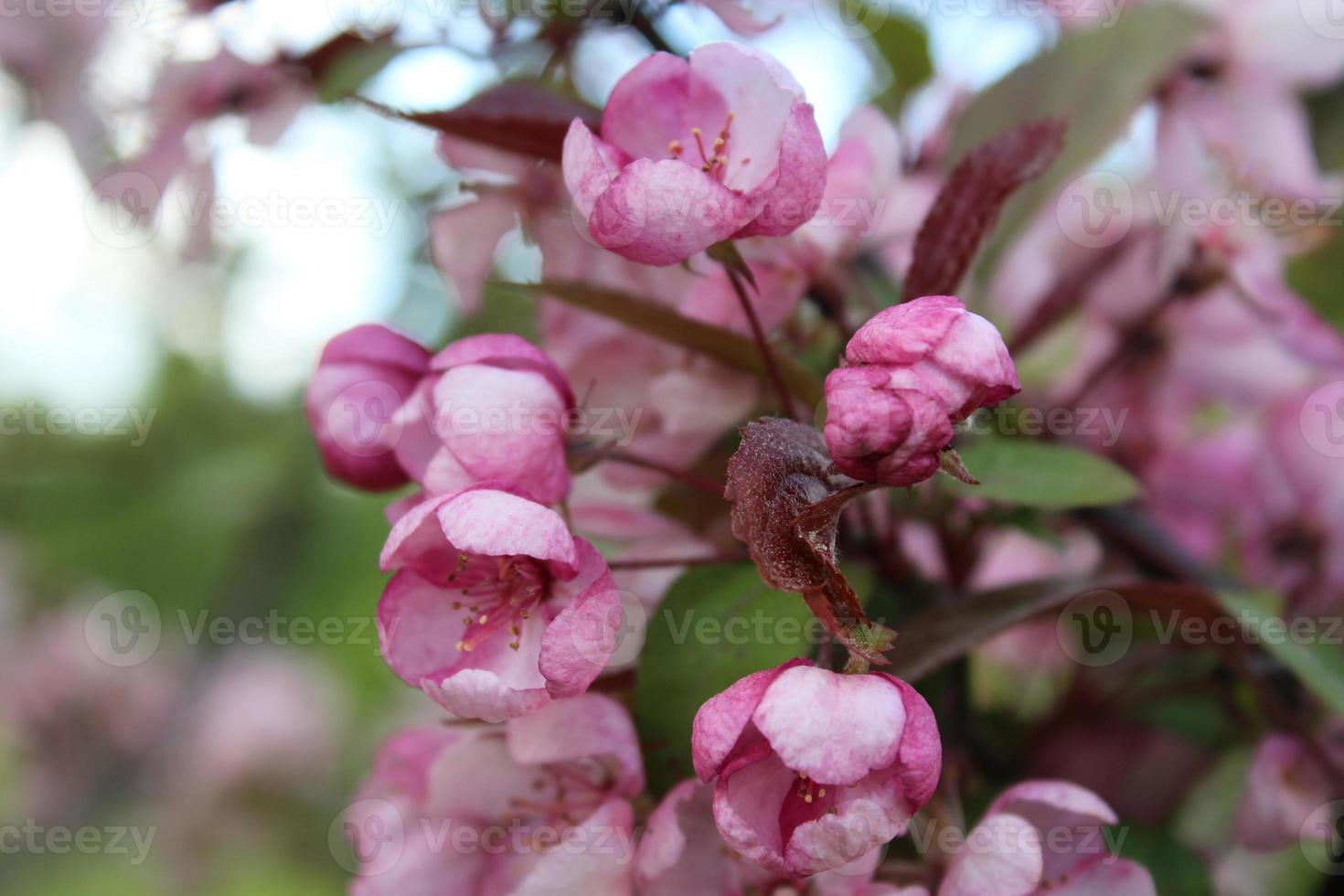 boutons de fleurs de cerisier roses. sakura photo