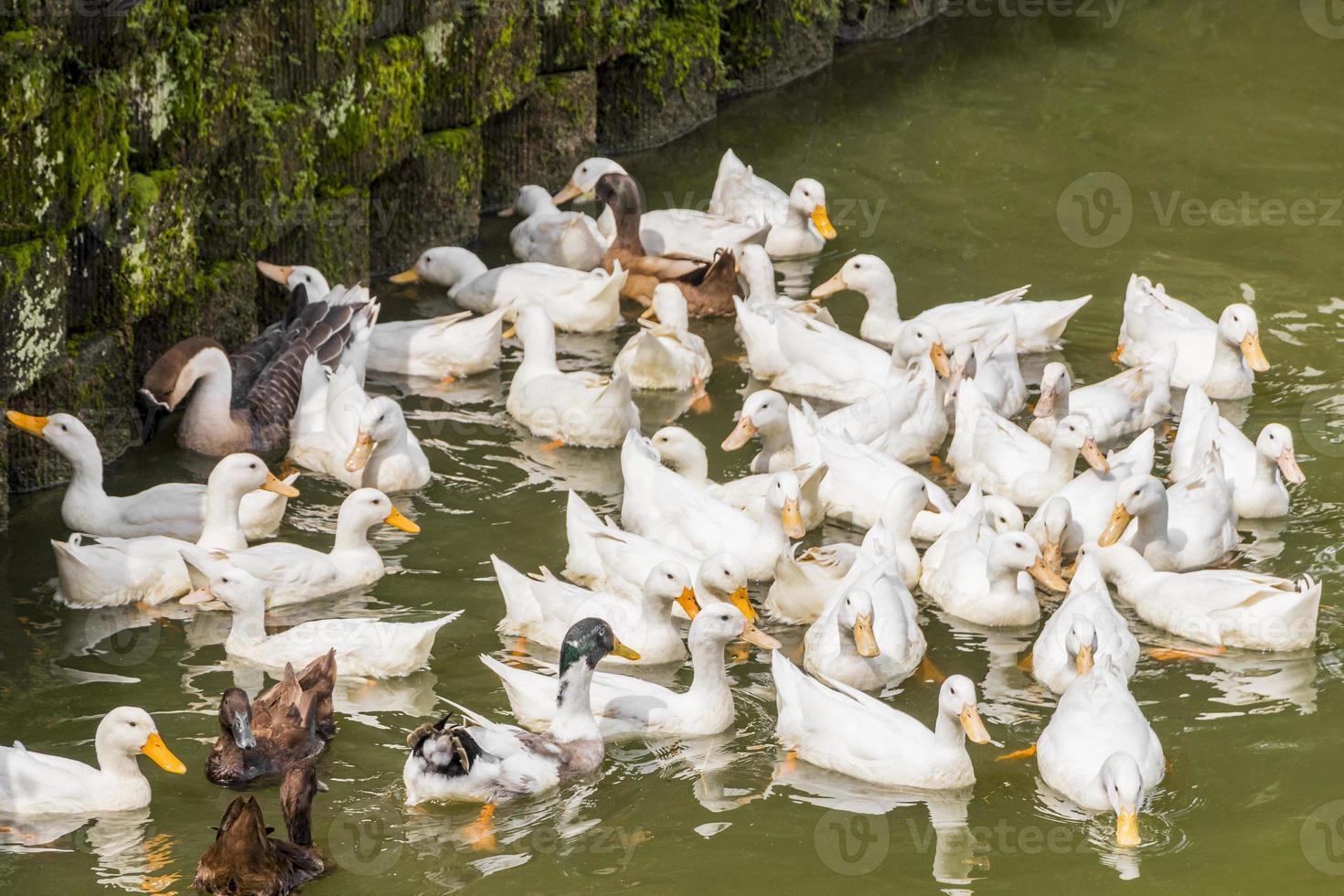 beaucoup de beaux canards blancs jardin botanique perdana, malaisie. photo