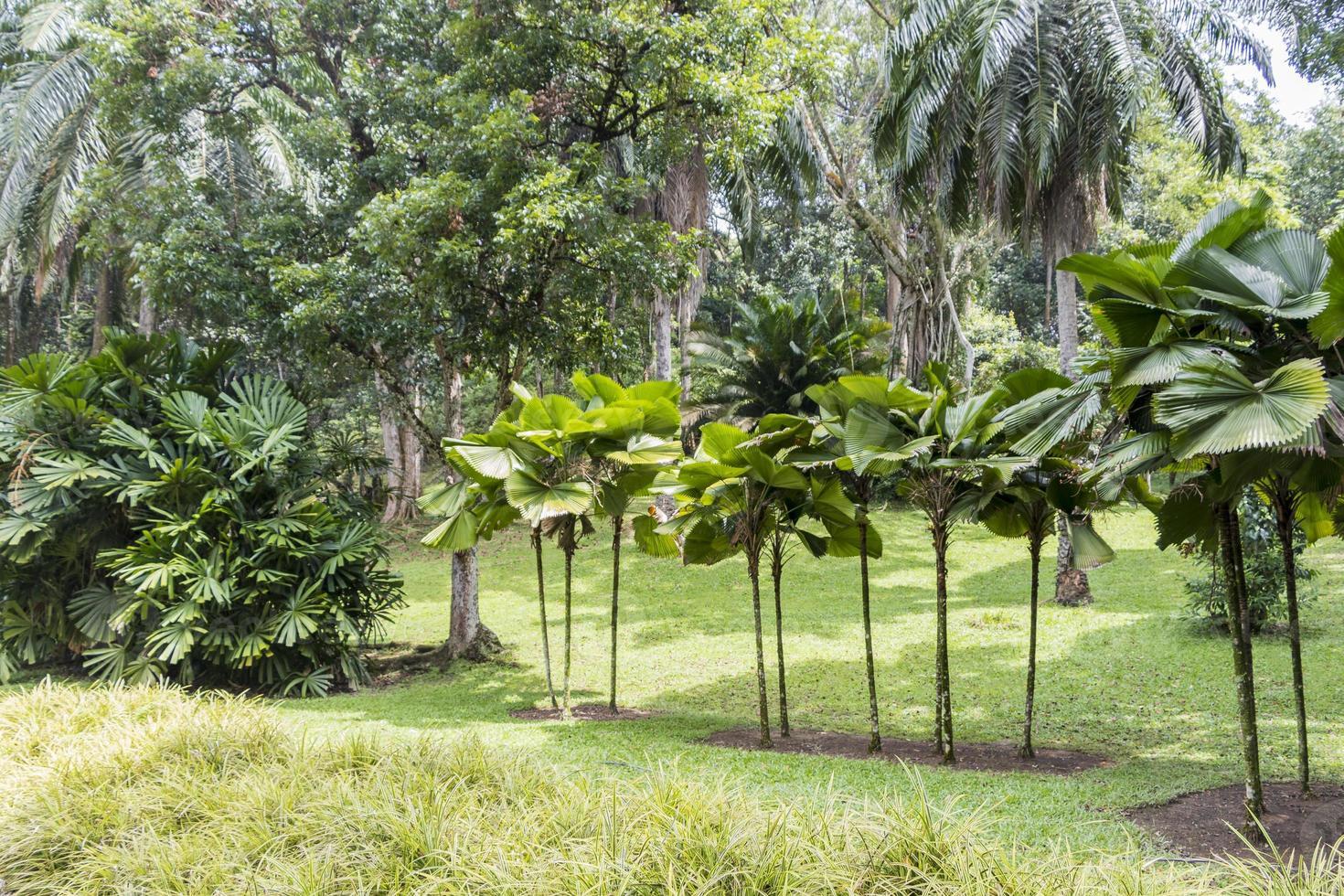 collection de palmiers dans le jardin botanique perdana, kuala lumpur. photo
