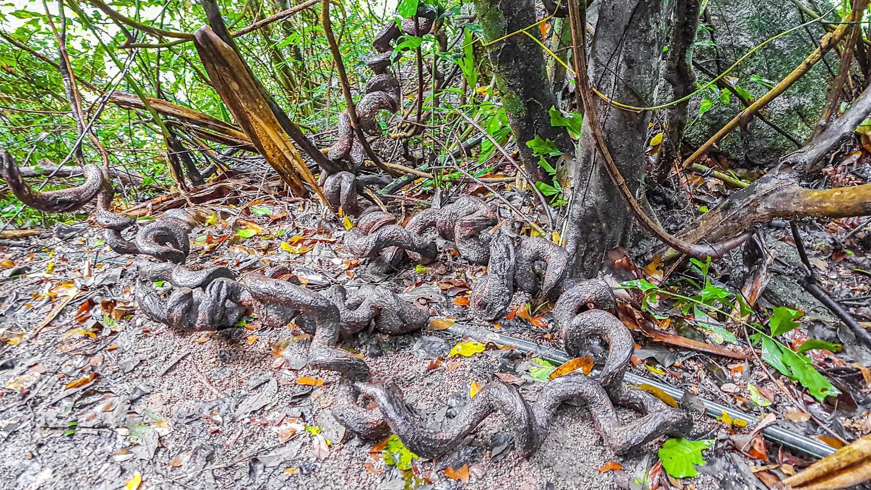 racines devenues folles dans la forêt tropicale du cercle koh samui en thaïlande. photo