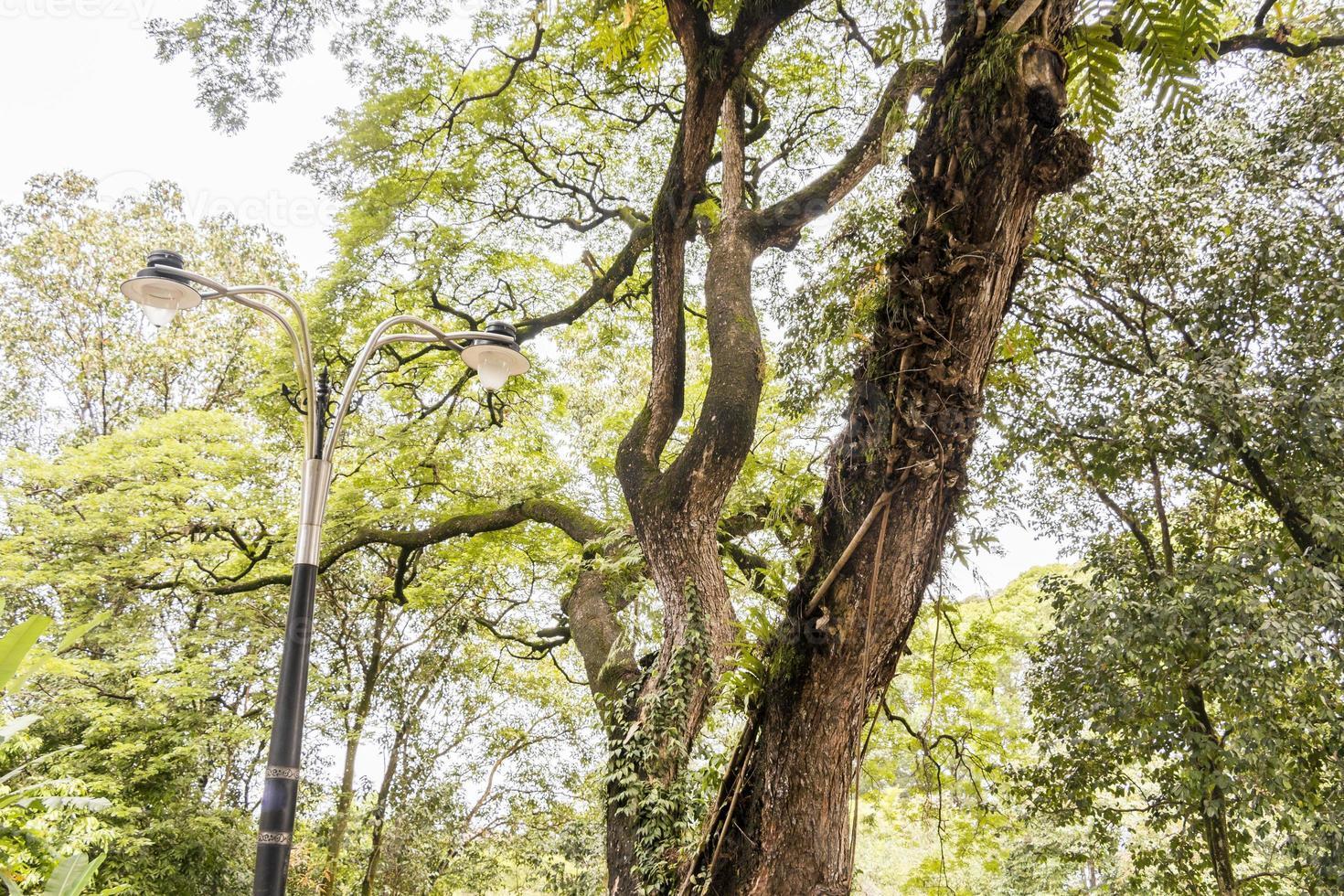 grand arbre tropical envahi par la végétation au milieu de kuala lumpur, en malaisie. photo