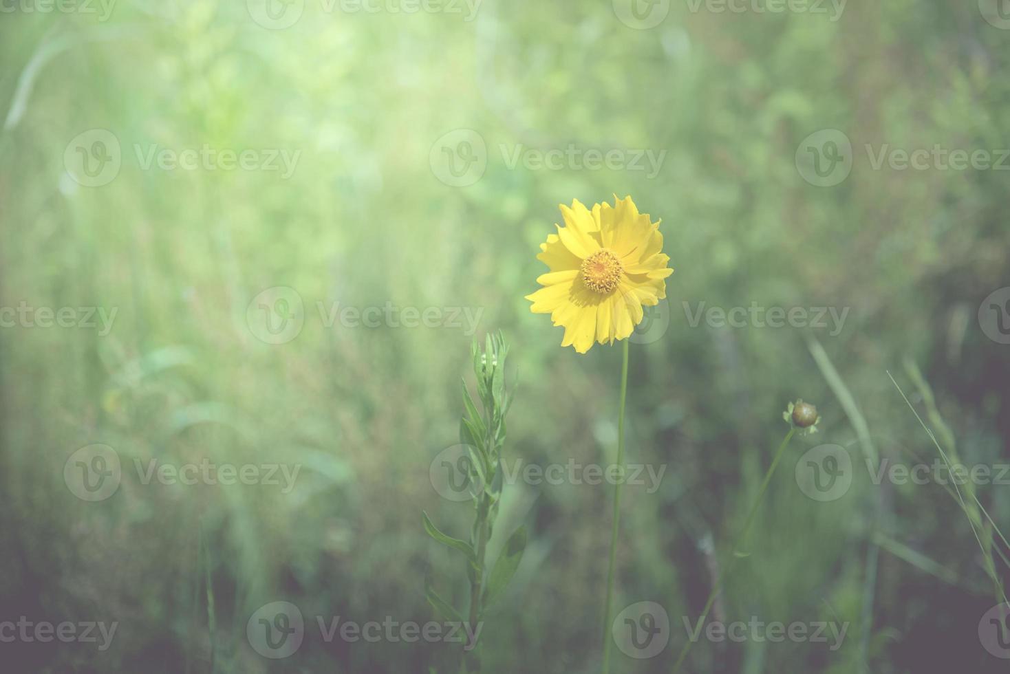 fleur jaune au fond du printemps photo
