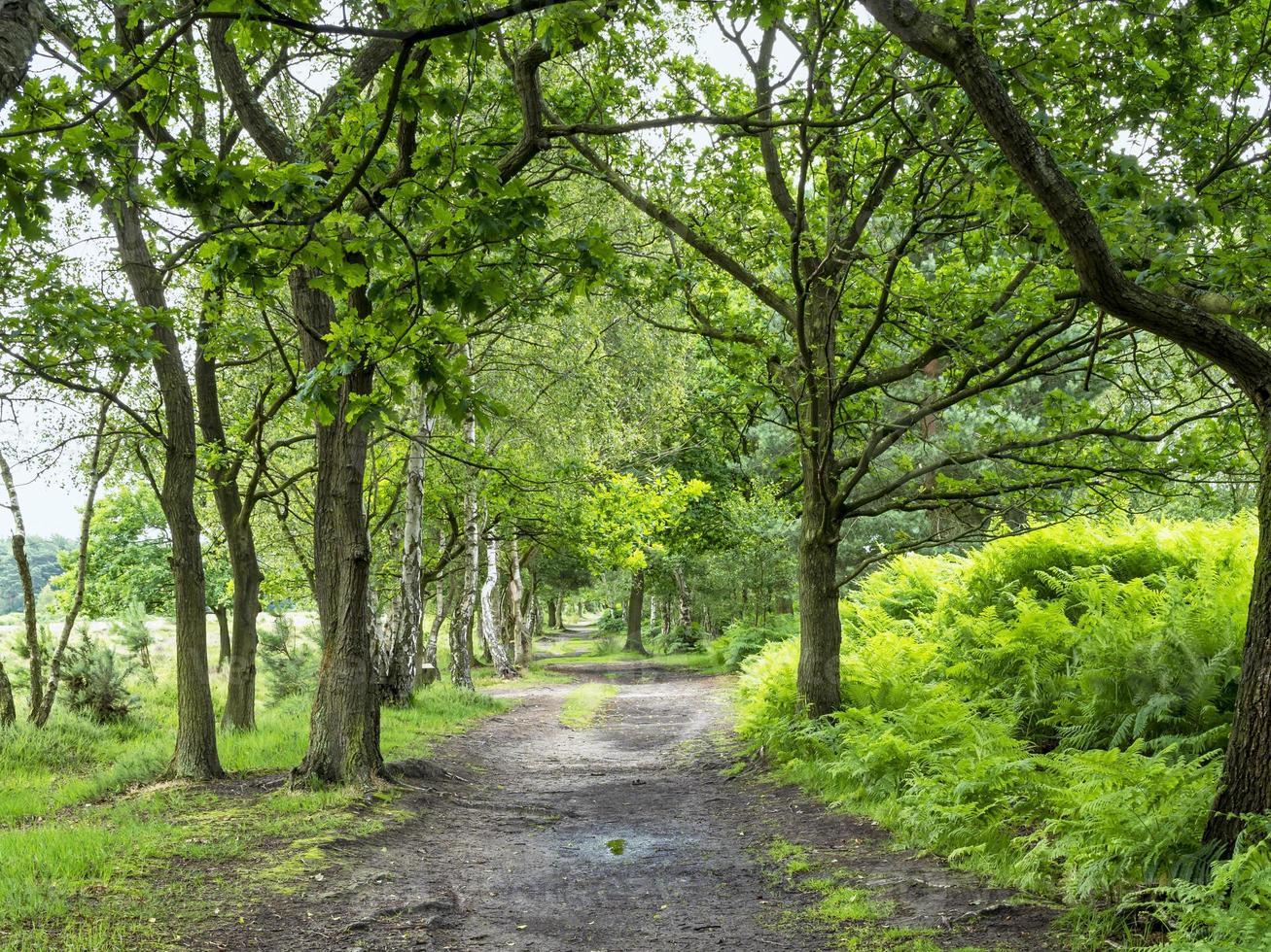 Sentier à travers les arbres à Skipwith Common, North Yorkshire, Angleterre photo
