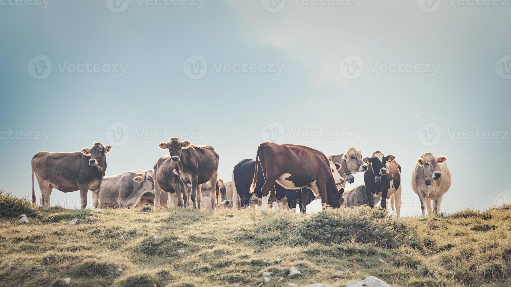 groupe de vaches dans un pâturage italien photo