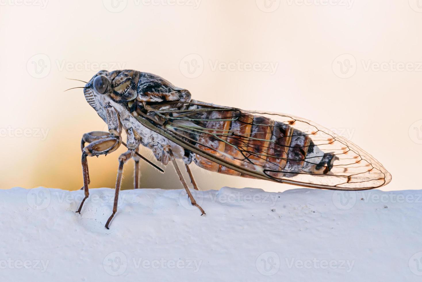 insecte cigale. gros plan de cigale sur un mur blanc. macrophotographie de cigale. photo