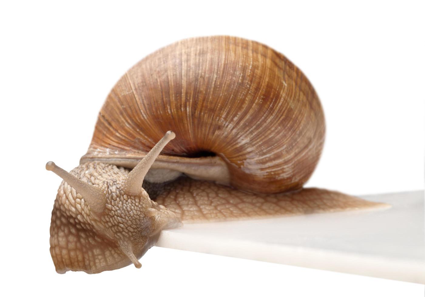 un gros escargot photo