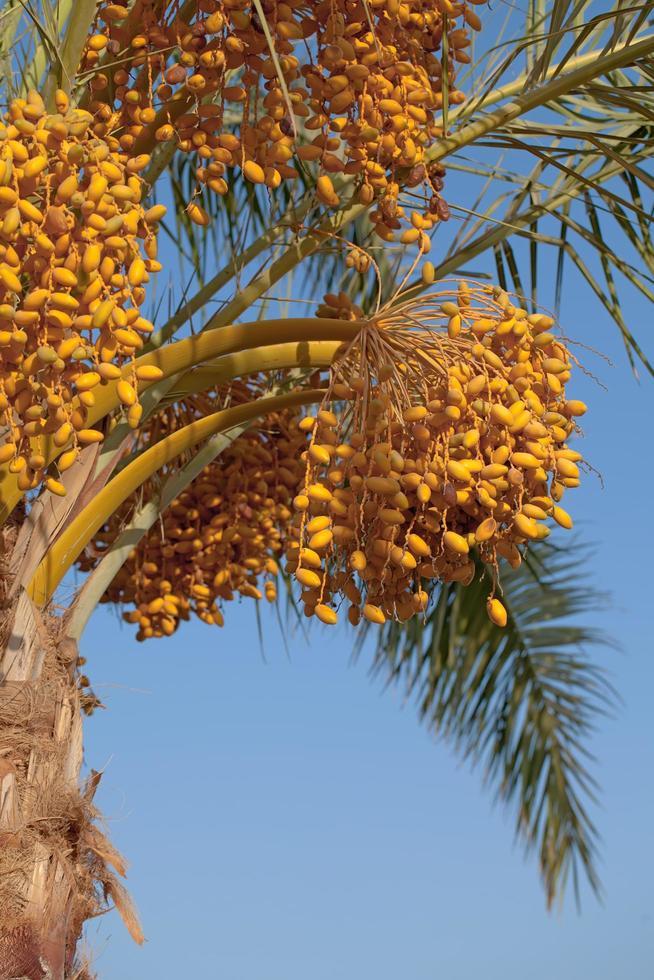 palmier avec des dattes photo