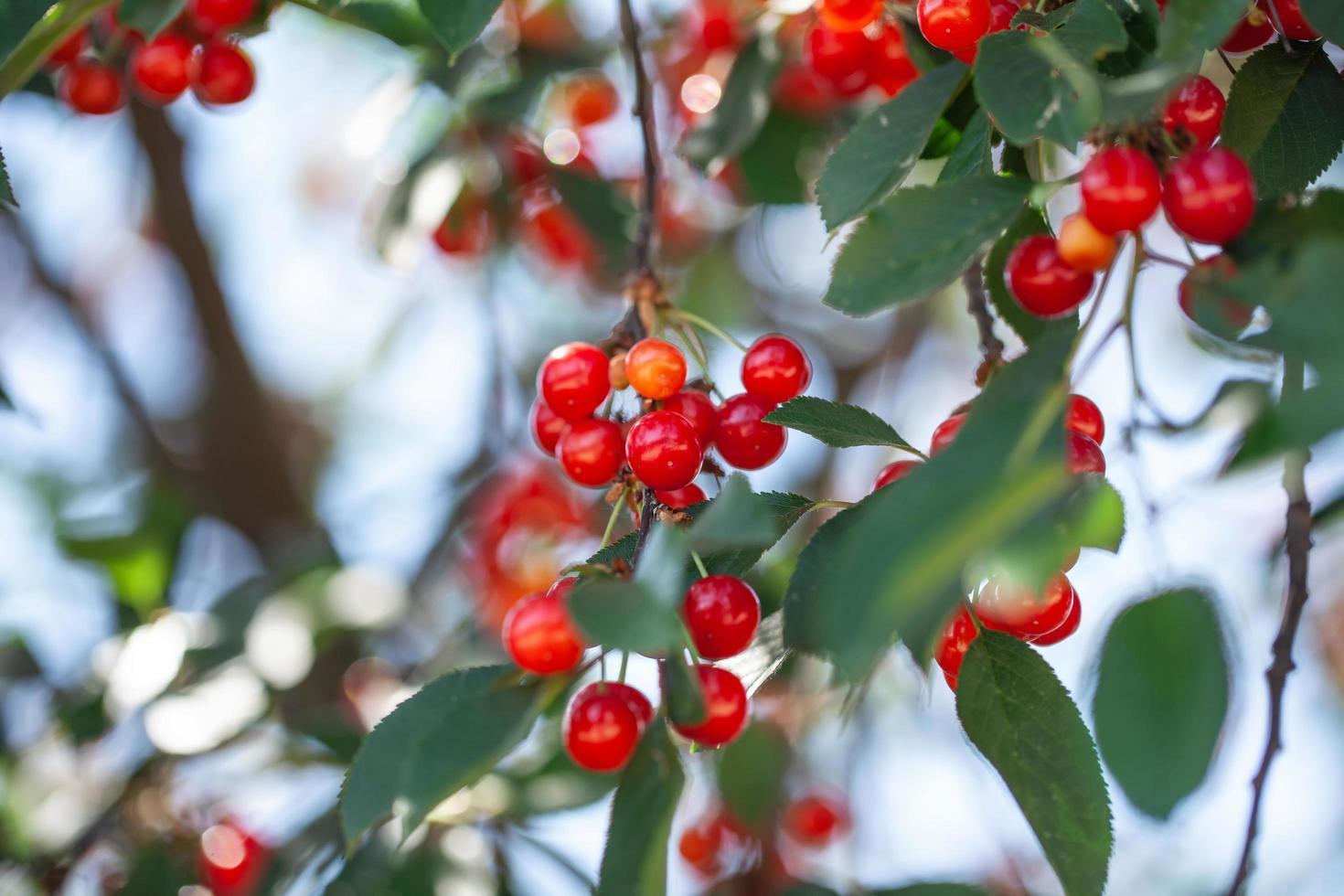 cerises mûres sur les branches photo