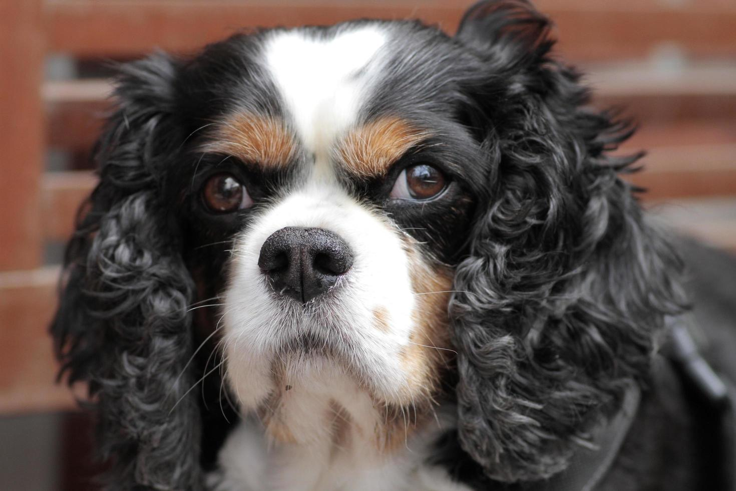 King Charles type à longues oreilles, chien domestique apprivoisé photo