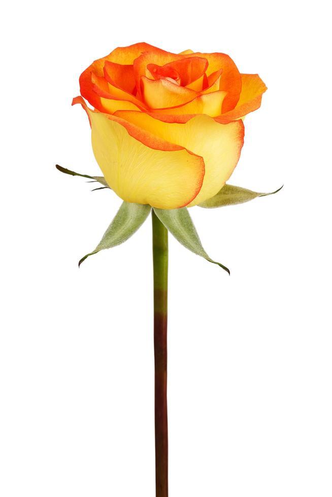 bourgeon de rose jaune photo