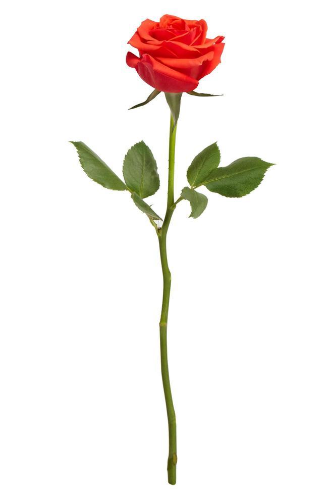 rose rouge sur fond blanc photo