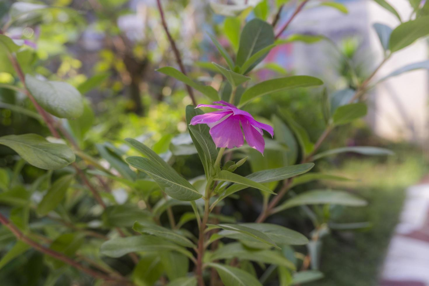 catharanthus roseus don dans la cour photo