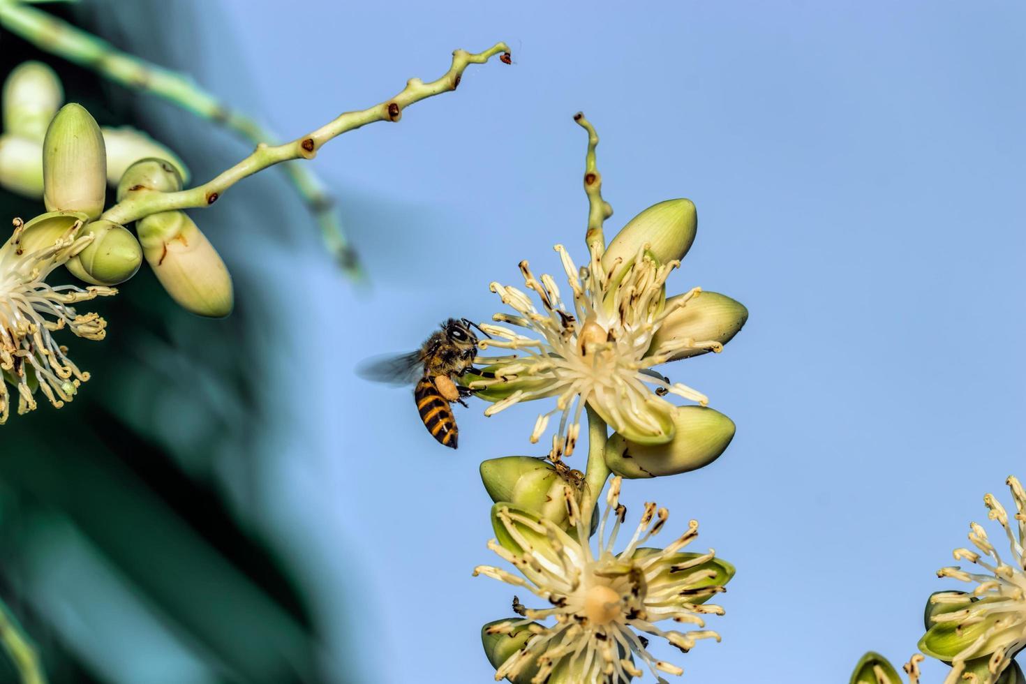 les fleurs de palmier fleurissent et les abeilles sont envahies photo