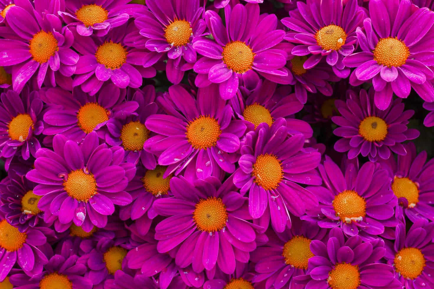 fleurs roses avec de beaux pétales photo