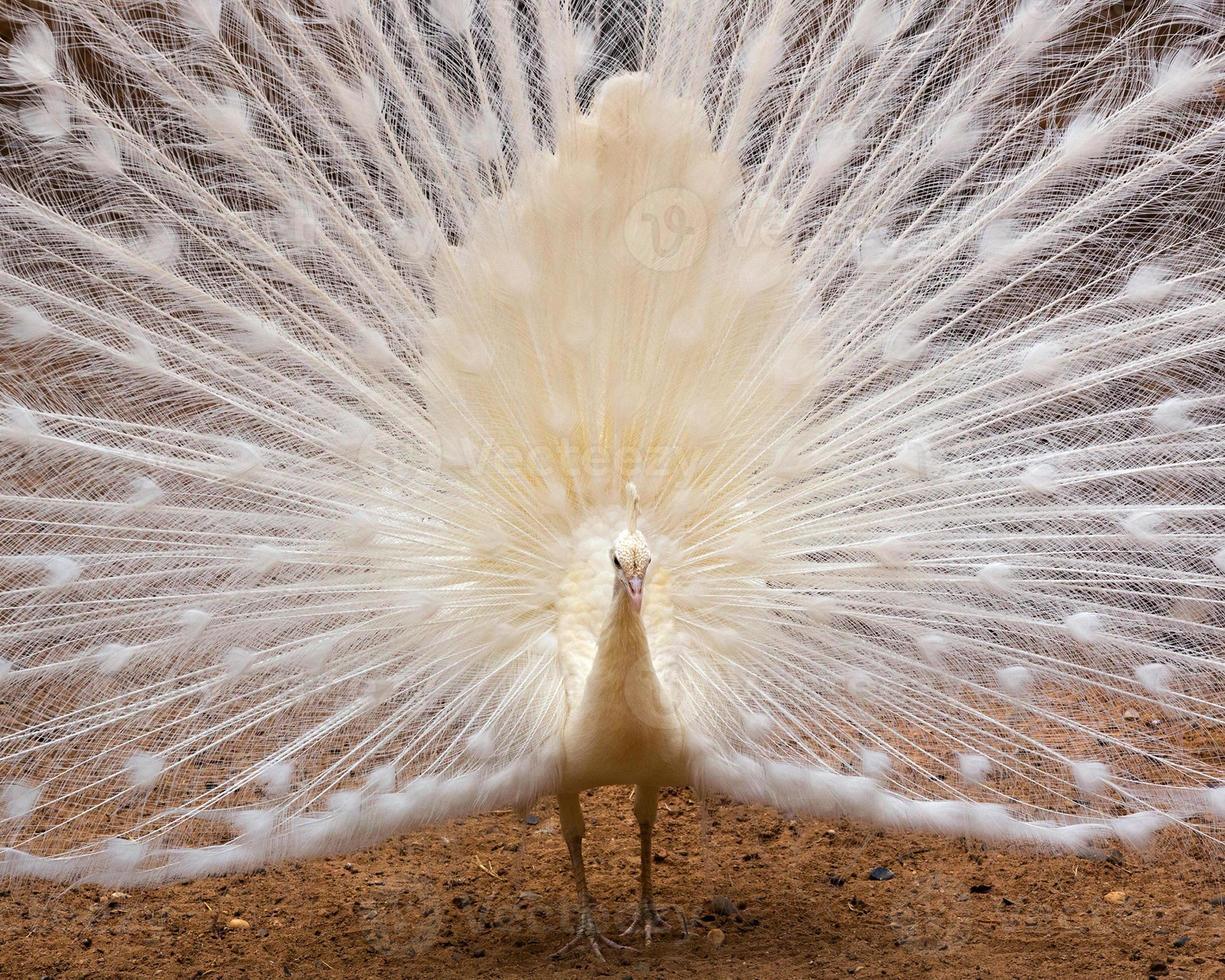 les paons blancs mâles ont les plumes de la queue étalées. photo