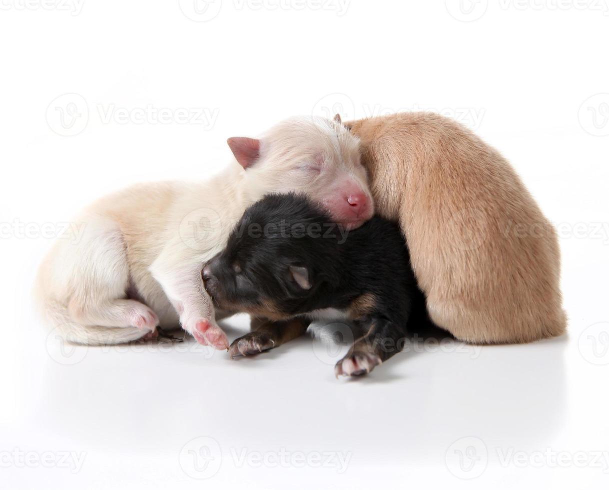 Chiens chiots poméraniens nouveau-nés allongés les uns sur les autres photo