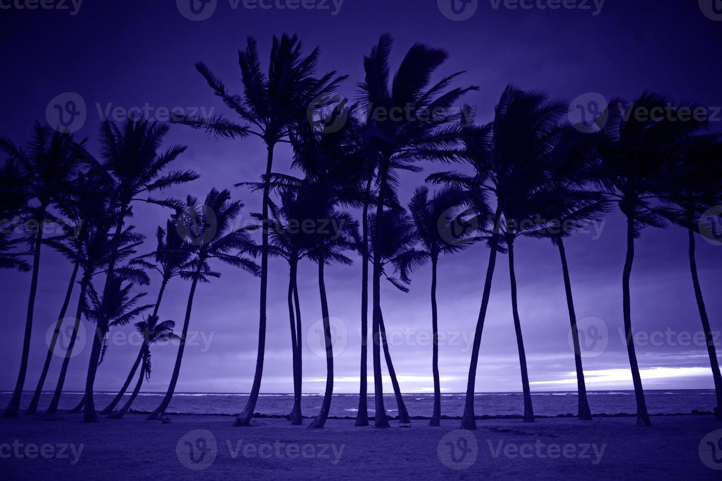 silhouette violette de grands palmiers photo