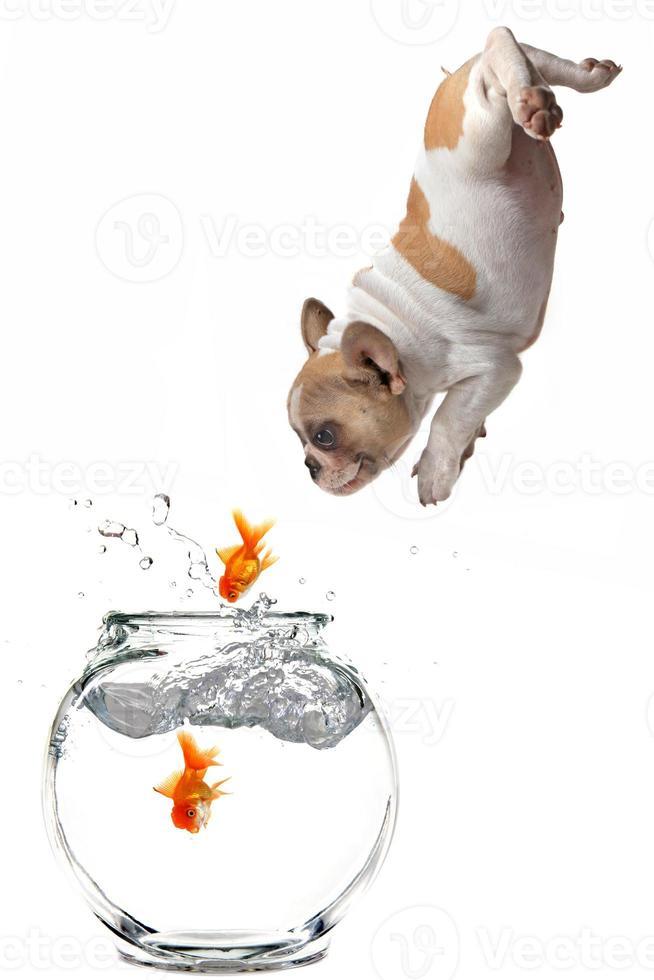 Chiot suivant sauter le poisson rouge dans un bocal à poissons photo