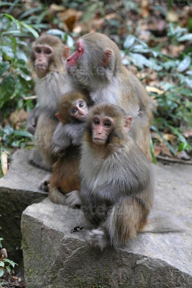 singes rhésus sauvages vivant dans le parc national de zhangjiajie en chine photo