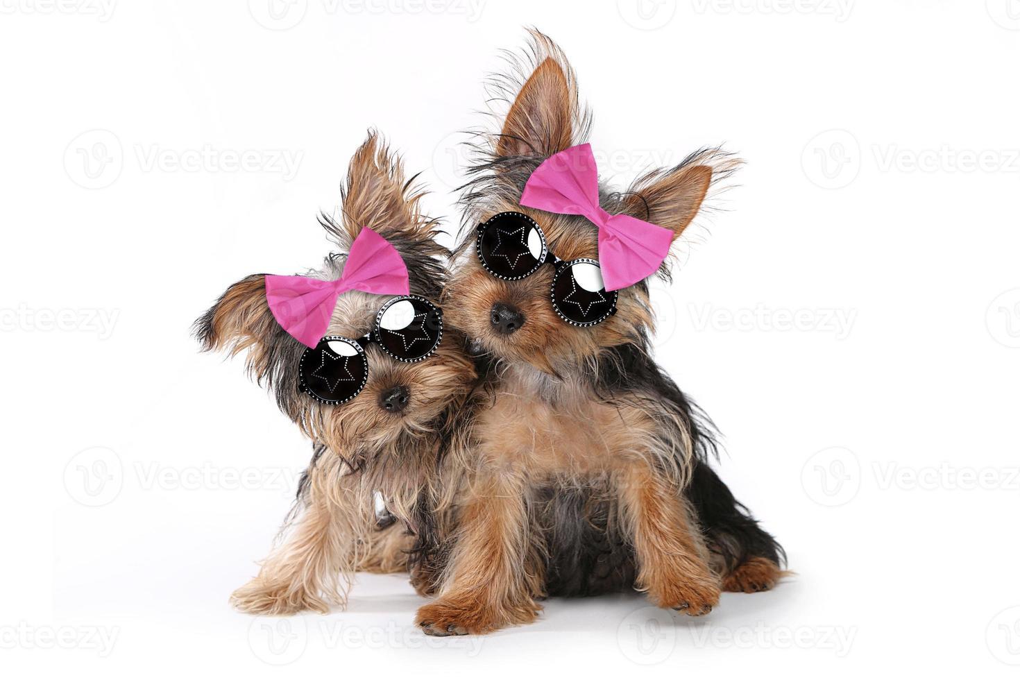 chiots yorkshire terrier habillés en rose photo