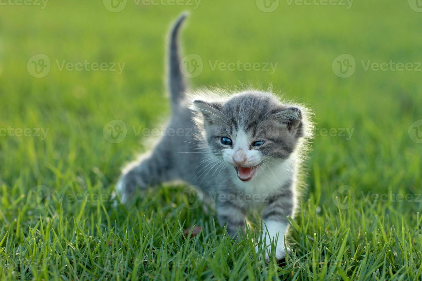 bébé chaton à l'extérieur dans l'herbe photo