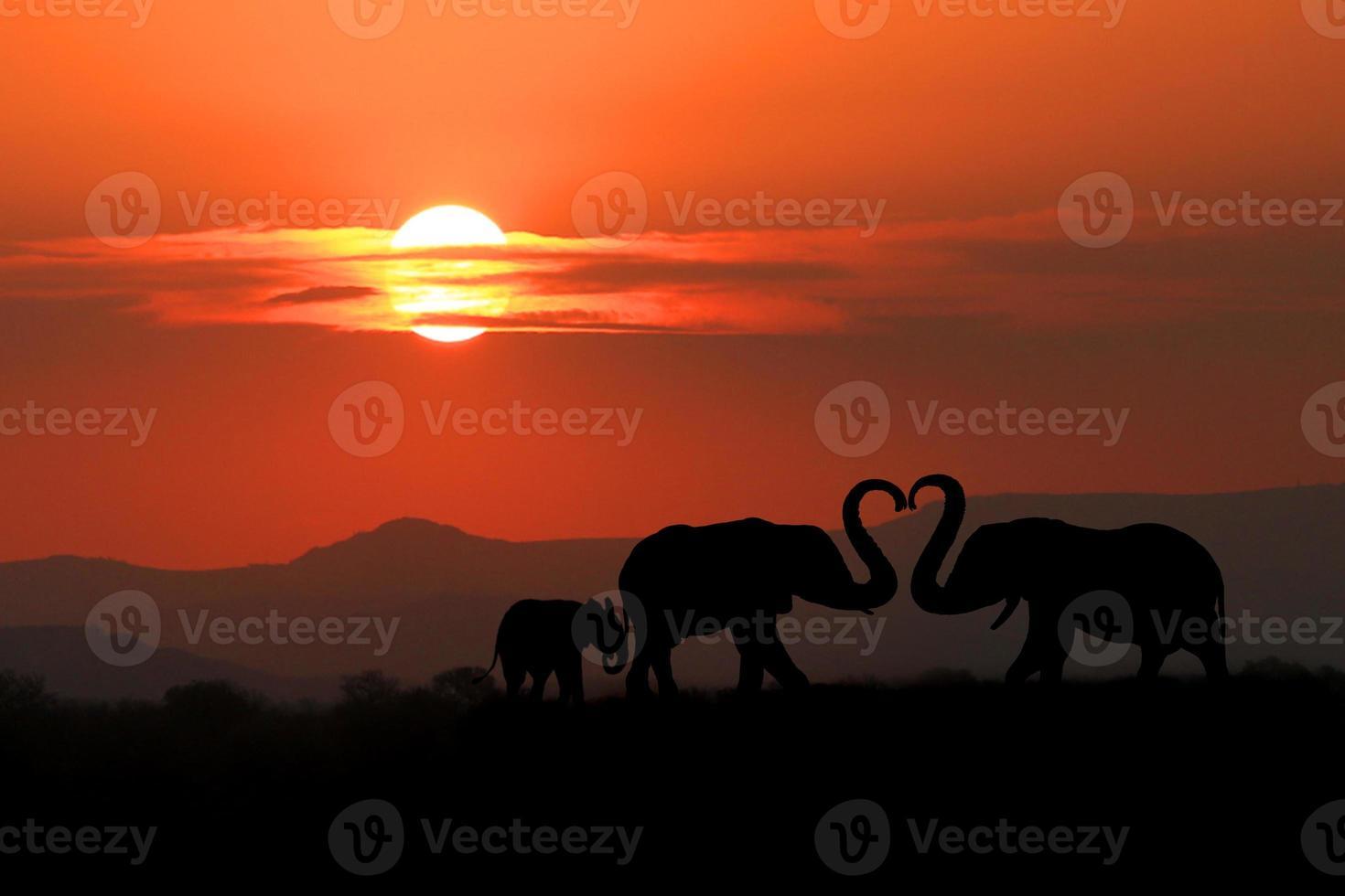 belle silhouette d'éléphants africains au coucher du soleil photo