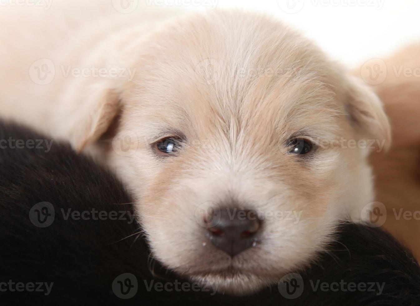 nouveau-né chiot blanc poméranien yeux ouverts photo
