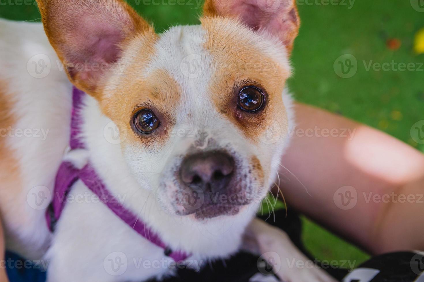 adorable chien jack russell terrier dans le parc en regardant la caméra photo