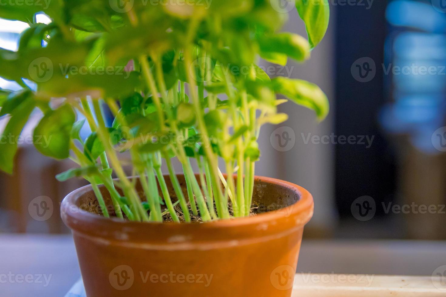 Herbe de menthe poivrée menthe fraîche dans un pot gros plan photo