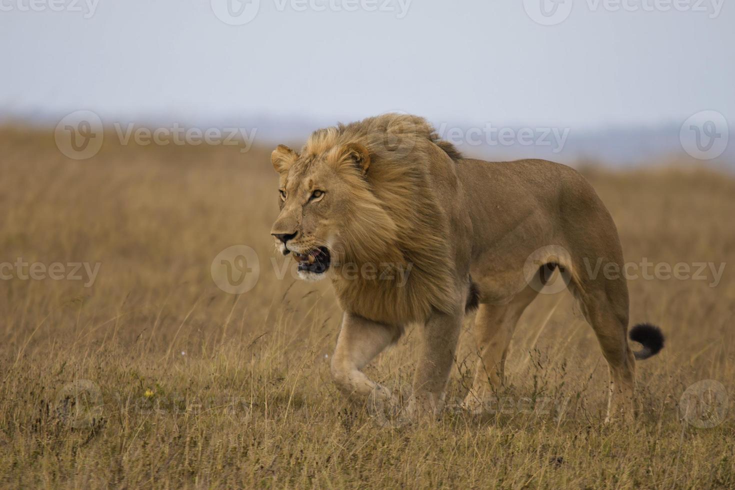 lion traque photo