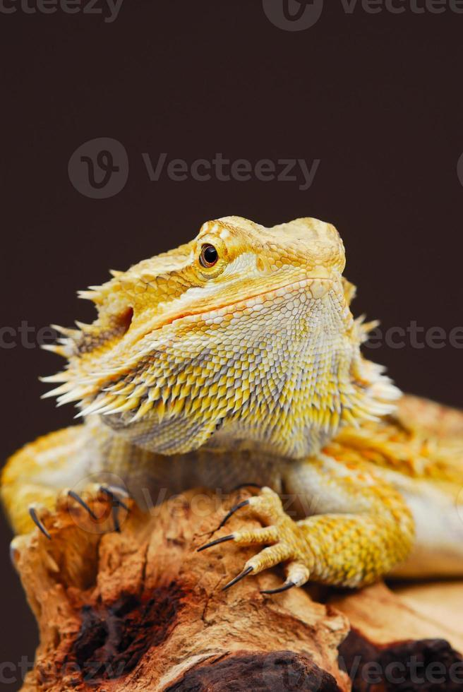 dragon barbu central phase jaune photo