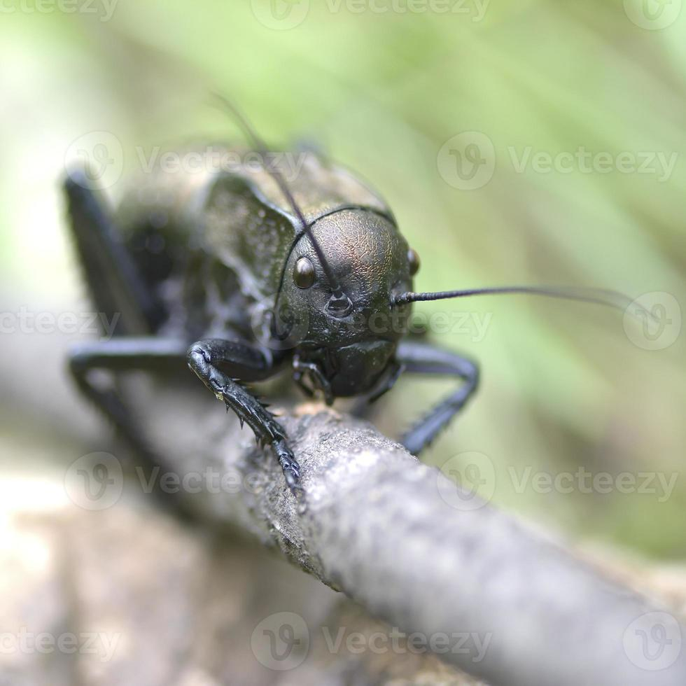 Bradyporus dasypus photo