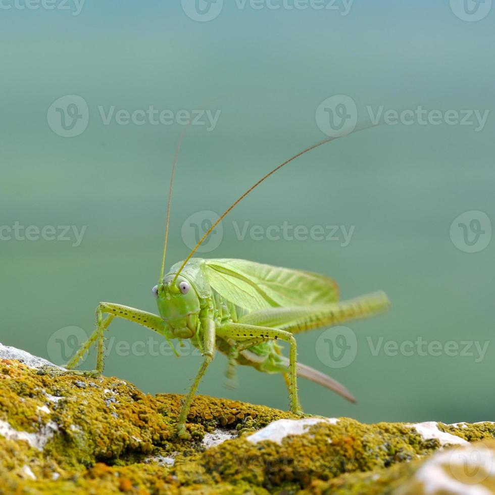grand cricket de brousse vert (tettigonia viridissima) photo