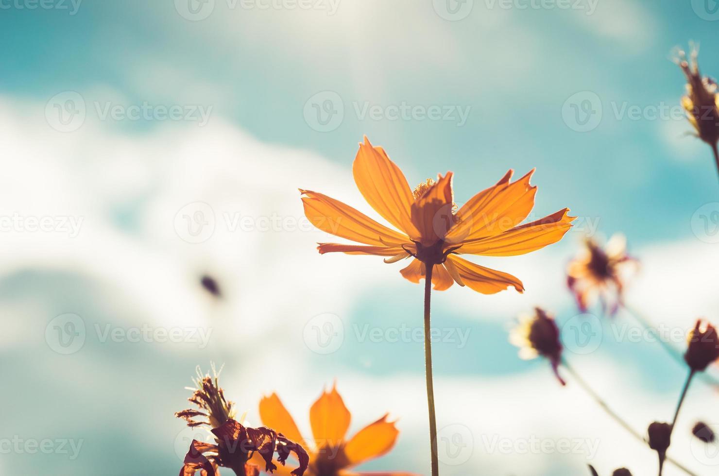 fleur de cosmos jaune vintage photo