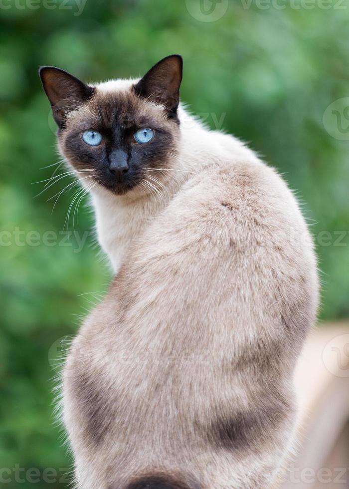 chat siamois aux yeux bleus avec fond vert photo
