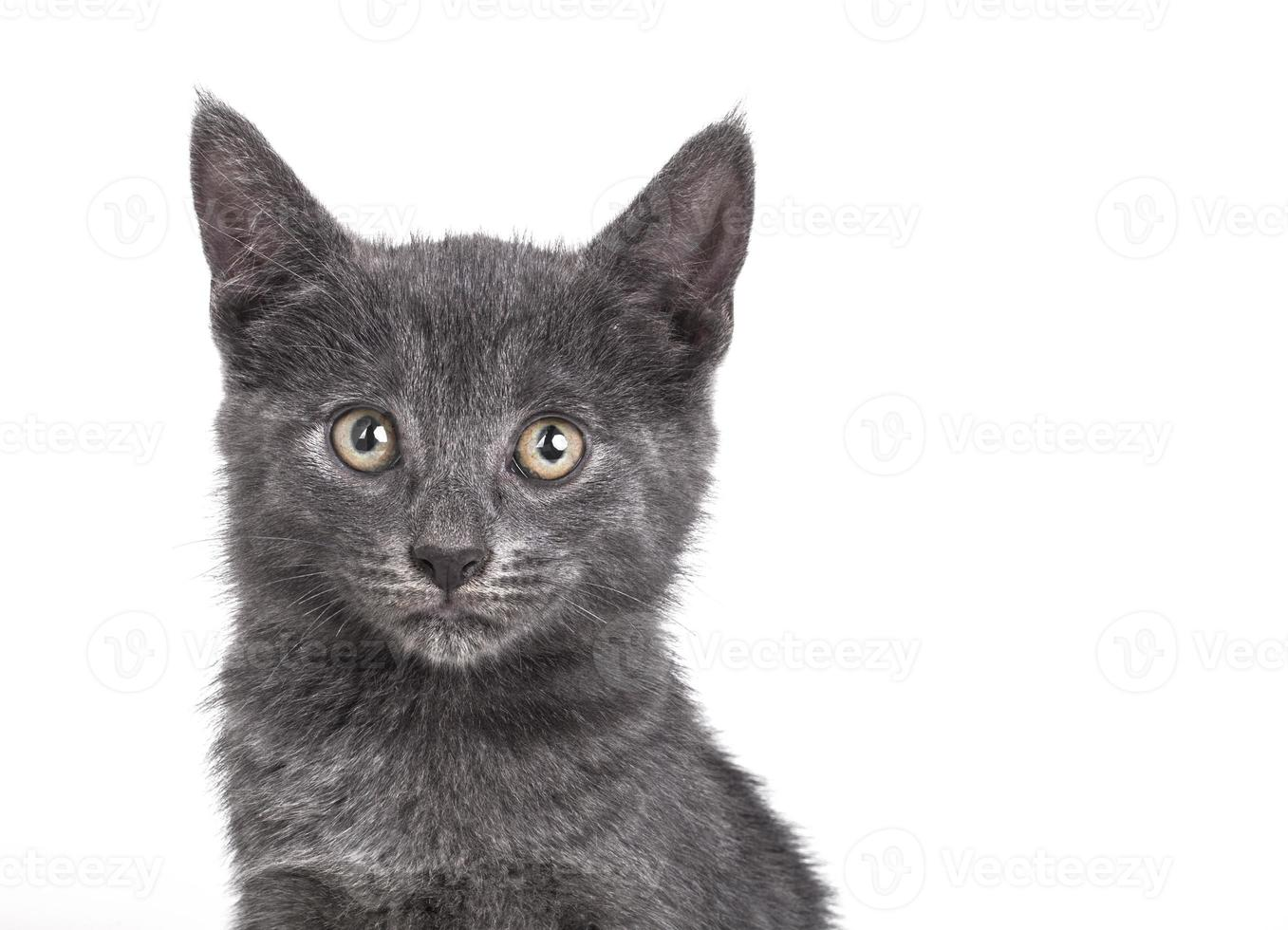 petit chat britannique gris photo